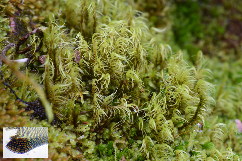 species distribution of liverworts in mt The paper determined the species richness, distribution,  of the 137 species, 109 were found in mt kalatungan ,  8 for mosses and 1 for liverworts 2 species,.