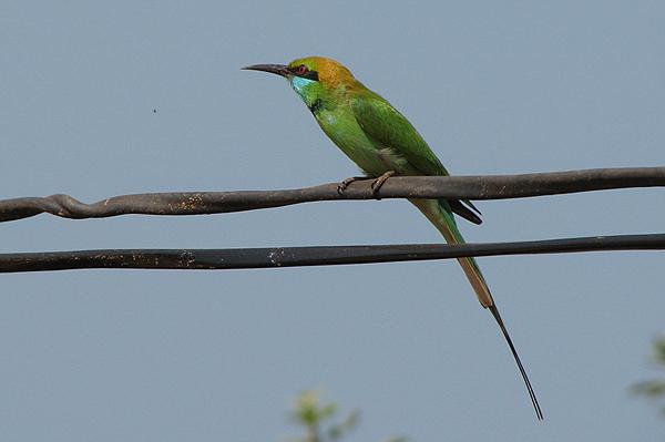 Goa Birds & Curries - NEW!