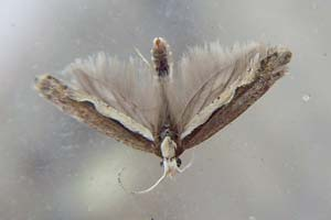 Diamond-back Moth