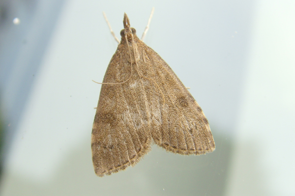 Common Garden Micro Moth Identification
