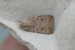 Pale-mottled Willow